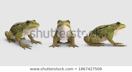 緑 · ブラウン · カエル · 白 · 春 - ストックフォト © taviphoto