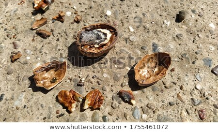 rotten walnut in shell Stock photo © Digifoodstock