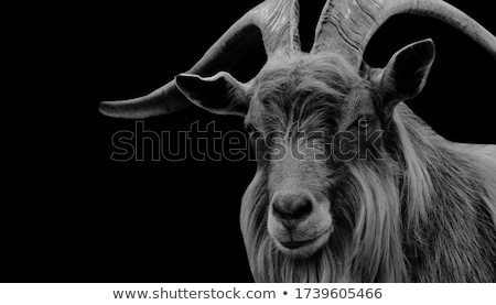 Billy goat Stock photo © franky242