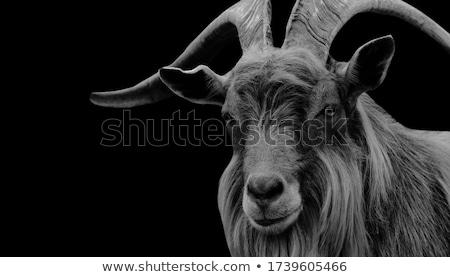 billy goat stock photo © franky242