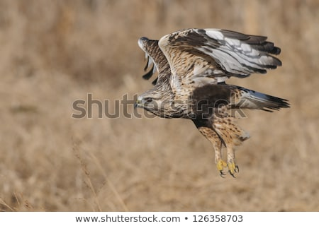Rough Legged Hawk in Flight Stock photo © pictureguy