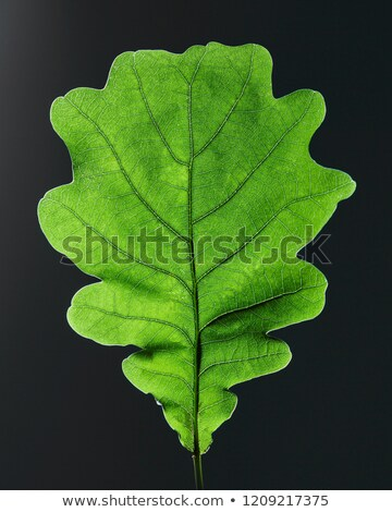 Closeup of oak green leaf with veins on black background with copy space. Top view Stock photo © artjazz