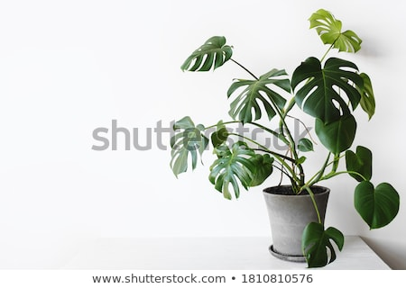 Plant with green leaves and roots Stock photo © colematt