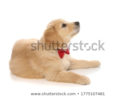 köpek · yavrusu · amerikan · kırmızı · çanta - stok fotoğraf © feedough