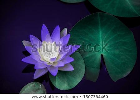 紫色 蓮 黄色 花粉 ドロップ 水 ストックフォト © nuttakit