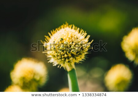 Allium komarowii in the spring field Stock photo © boggy