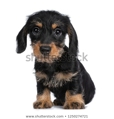 zoete · zwarte · bruin · puppy · engel · contact - stockfoto © CatchyImages