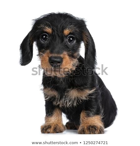 Stockfoto: Zoete · zwarte · bruin · puppy · engel · contact
