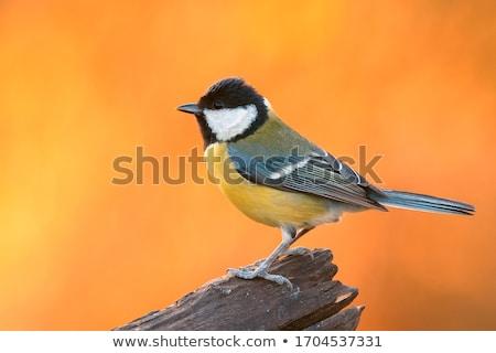 Tit ptaków portret obserwacja ptaków Zdjęcia stock © Arsgera