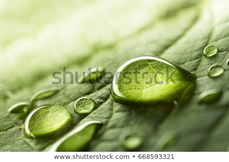 green leaf with drops of water stock photo © sweetcrisis