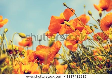 Turuncu haşhaş çiçekler çiçek güzellik Stok fotoğraf © Lessa_Dar