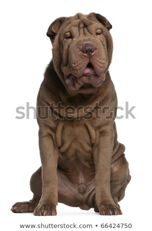 Cachorro meses velho sessão bege retrato Foto stock © marcelozippo