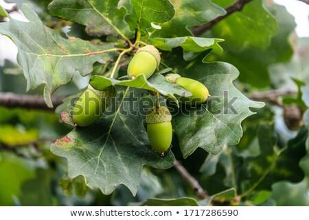 Gland macro fond vert automne Photo stock © brm1949