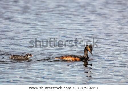 babák · Saskatchewan · természet · fiatal · csirke · tavacska - stock fotó © pictureguy