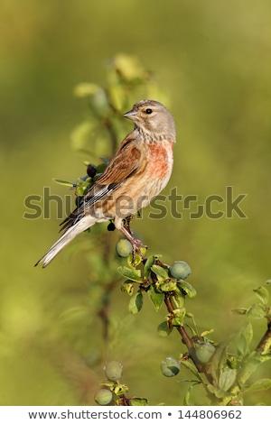Arka plan kuş tarım erkek kimse yaban hayatı Stok fotoğraf © chris2766