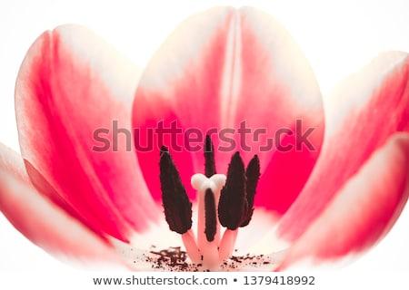 Extrém makró virág négy belső lila Stock fotó © smithore
