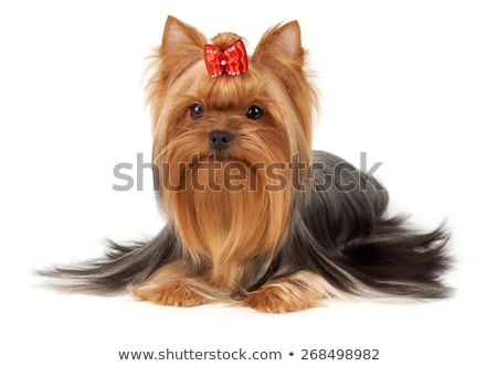 Nice red dog portrait in white background Stock photo © vauvau