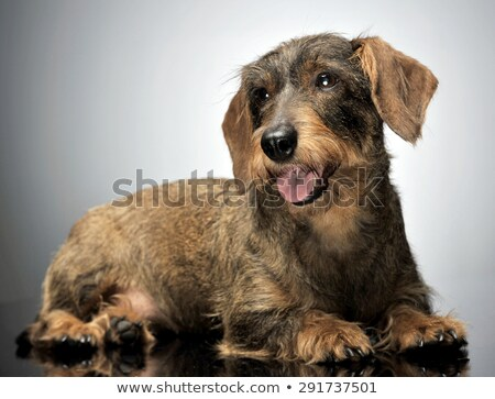 nice wired hair dachshund relaxing in gray background Stock photo © vauvau