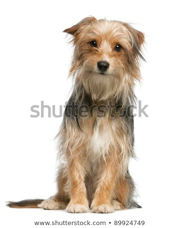 Mixed breed dog sitting in a white background Stock photo © vauvau