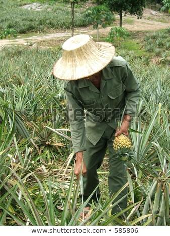 Asian lavoratori ananas frutta frame Asia Foto d'archivio © Kirill_M