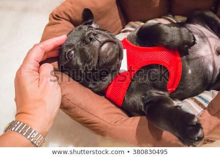 Zdjęcia stock: Stafforshire Bull Terrier