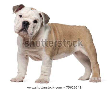 dos · cute · Inglés · bulldog · cachorros · mirar - foto stock © feedough