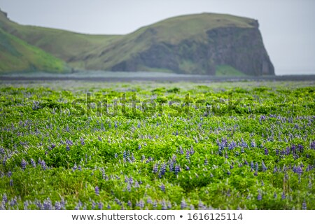 Bloemen weide IJsland landschap berg Stockfoto © Kotenko