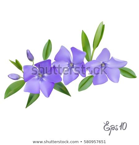Lila virágok zöld bokor illusztráció virág Stock fotó © colematt