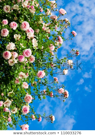 rose · fleurs · bleu · clair · ciel · image · feuilles · vertes - photo stock © Traven