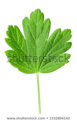 Gooseberry with leafs  Stock photo © Masha