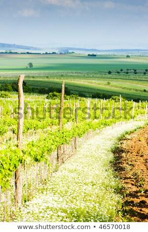 szőlőskert · alsó · Ausztria · tájkép · növények · szőlő - stock fotó © phbcz