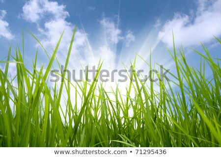 Blades of grass and sky Stock photo © zzve