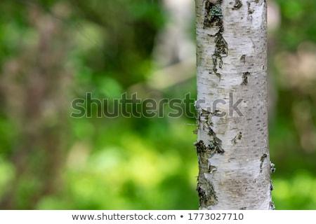 Nyírfa fa zöld ág tavasz erdő Stock fotó © brux