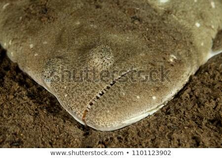 Psettodes Erumei Flounder Stock photo © bluering