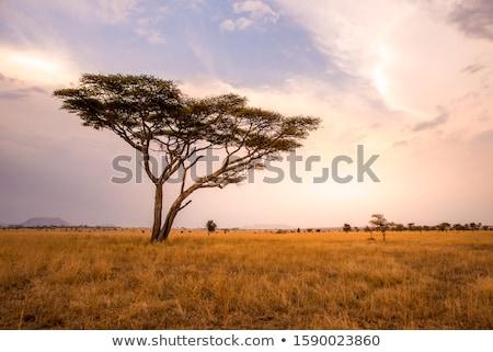 Magányos száraz fa sivatag Serengeti Stock fotó © meinzahn