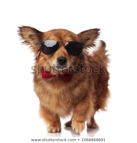 stylish brown dog with sunglasses and red bowtie stepping stock photo © feedough