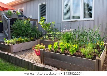 Cebolas vegetal jardim crescente primavera natureza Foto stock © erierika