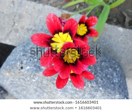 Freesia Blossom with Leaf and Stones Stock photo © ildi