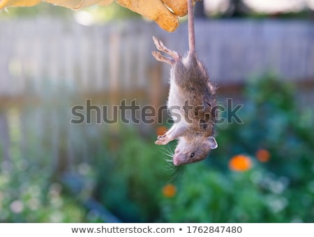 dead rat stock photo © muang_satun