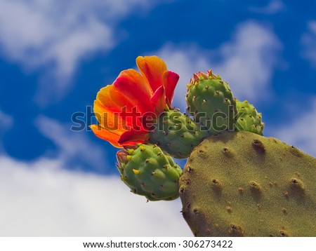 blooming cactus in detail in the desert with blue sky stock photo © meinzahn