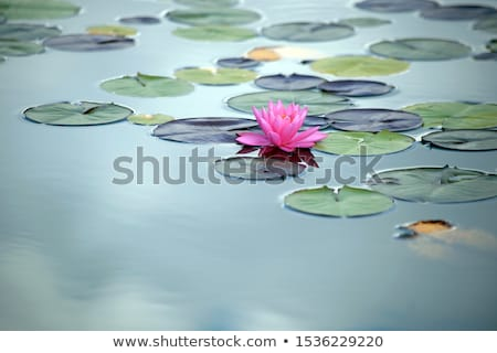 leaves of water lily floating in the lake stock photo © meinzahn