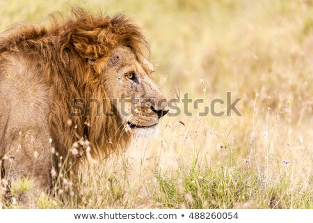 Lion sitting in the grass. stock photo © simoneeman