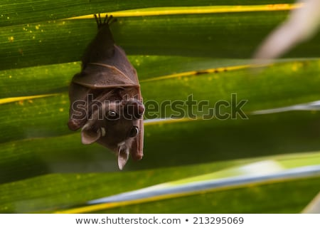 Kicsi denevér szeretet rajz illusztráció szárnyak Stock fotó © cthoman