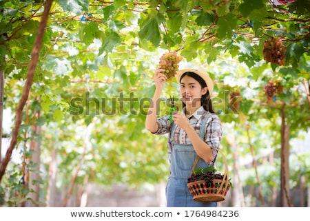 güzel · kadın · hasat · beyaz · asma · üzüm - stok fotoğraf © lightpoet