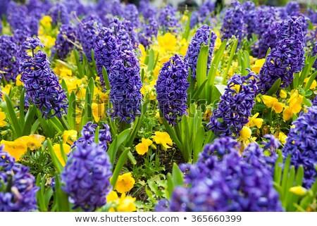 Hyacint Blauw bloemen voorjaar gras Stockfoto © neirfy