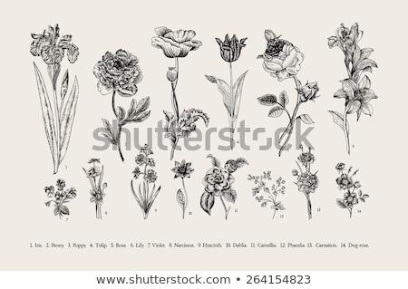Vintage fiori illustrazioni Italia fiore illustrazione Foto d'archivio © claudiodivizia