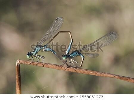 Szitakötő közelkép fajok makró halott szár Stock fotó © smithore