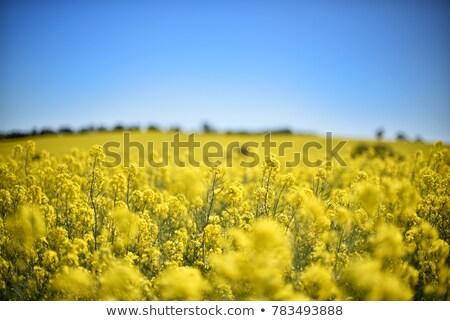 pintura · amarillo · campo · pincel · flor · primavera - foto stock © thp