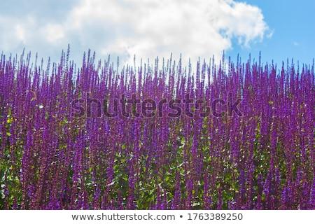 Blue Salvia plant Stock photo © stoonn