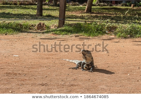 lizard on volcanic ground  Stock photo © meinzahn